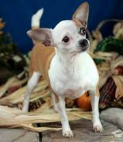 CKC Chihuahua puppies for sale