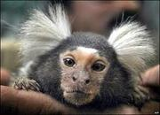 marmoset monkey's for sale